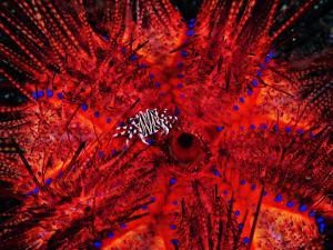 Zebra Crab (Zebrida Adamsii) in Symbiosis with an Astropyga Radiata Sea Urchin by Andrea Ferrari