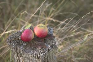 Apples, Old Stump by Andrea Haase