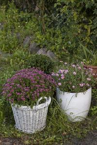 Asters in the Pot by Andrea Haase