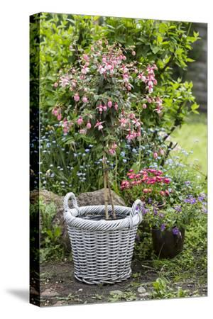 Fuchsia in White Basket