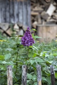 Lilac and Old Wooden Fence by Andrea Haase