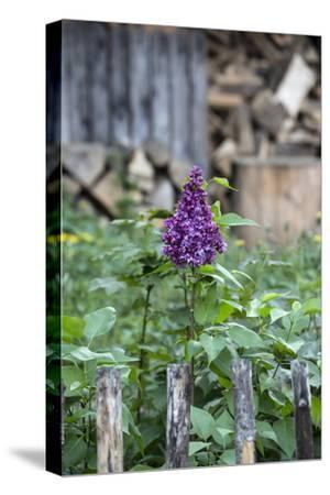 Lilac and Old Wooden Fence