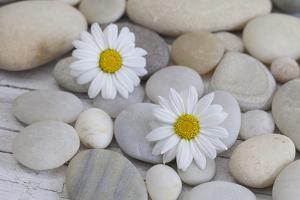 Margarites Blossoms, Stones, Still Life by Andrea Haase
