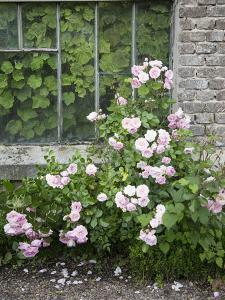 Pink Climbing Roses in Front of Old Greenhouse by Andrea Haase
