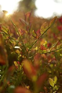Autumn shrubs, back light, Dalsland, Sweden by Andrea Lang