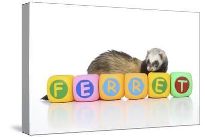 Ferrets 001