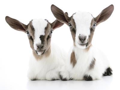 Goats 002 by Andrea Mascitti