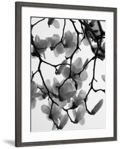 Magnolia Blossoms Silhouetted in Black and White on a Tree by Andrea Sperling