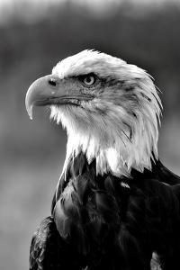 Bald Eagle in Black and White by Andrea & Tim photography