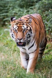 Tiger Prowling by Andrea & Tim photography