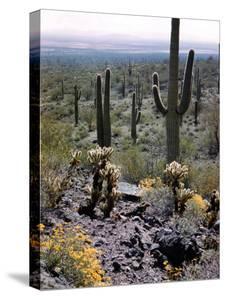 Desert Wild Flowers by Andreas Feininger