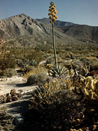 Flowering Agave Plant Sprouting During the Spring in the Sonoran Desert by Andreas Feininger