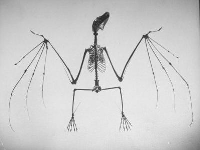 Skeletal Structure of a Bat by Andreas Feininger