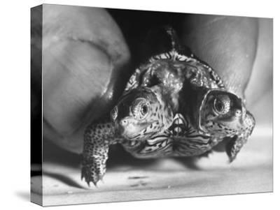 The Two Headed Turtle Named Super Diamond