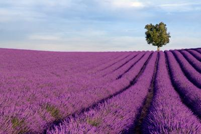 Rich Lavender Field With A Lone Tree by Andreas G. Karelias