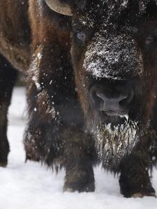 American Bison, Bison Bison, Buffalo, Close-Up by Andreas Keil