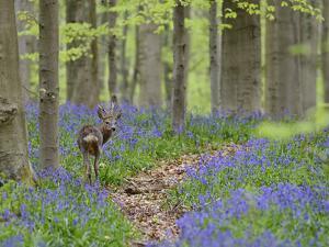 Belgium, Flanders, 'Hallerbos' (Forest), Roe Deer, Capreolus Capreolus by Andreas Keil
