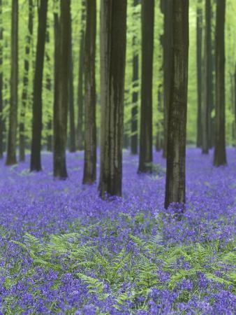 Belgium, Hallerbos, Beech Forest, Bluebells, Fern
