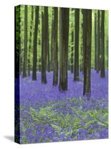 Belgium, Hallerbos, Beech Forest, Bluebells, Fern by Andreas Keil