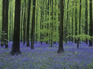 Belgium, Hallerbos, Beech Forest, Bluebells by Andreas Keil