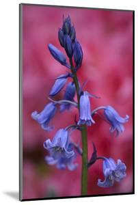 Bluebell, Hyacinthoides Non-Scripta, Close-Up by Andreas Keil