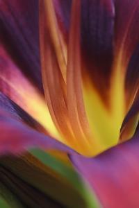 Daylily, Hemerocallis, Close-Up by Andreas Keil
