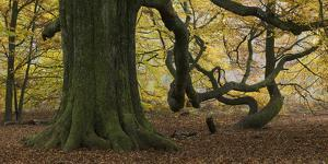Germany, Hessen, Reinhardswald, Primeval Forest Sababurg, Copper Beech by Andreas Keil