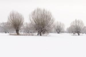 Germany, North Rhine-Westphalia, Pollard Willow Trees in Winter by Andreas Keil