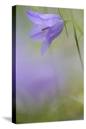 Harebell, Campanula Rotundifolia, Close-Up