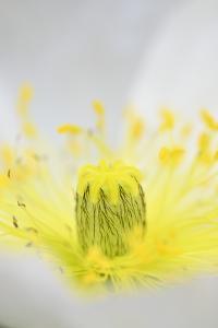 Iceland Poppy, Papaver Nudicaule, Close-Up by Andreas Keil