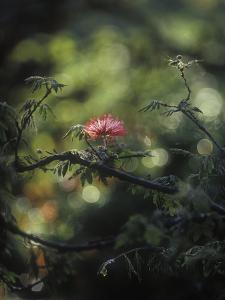 Powder Puff Shrub, Calliandra Tweedii, South America, Brazil by Andreas Keil