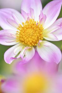 Ruff Dahlia, Dahlia X Hoard Sis 'Alps Diamond', Blossom, Medium Close-Up by Andreas Keil