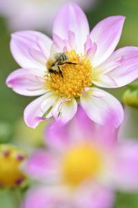 Ruff Dahlia, Dahlia X Hoard Sis 'Alps Diamond', with Honeybee, Apis Mellifera by Andreas Keil