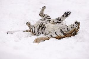 Siberian Tiger, Panthera Tigris Altaica, Female Rolls in the Snow by Andreas Keil