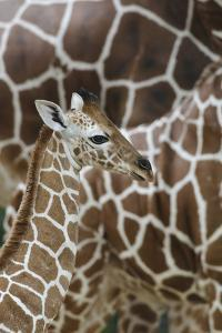 Somali Giraffe, Giraffa Camelopardalis Reticulata, Young Animal in the Herd, Close-Up by Andreas Keil