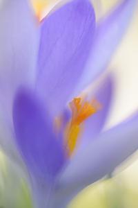 Spring Crocus, Crocus Vernus, Blossom by Andreas Keil