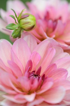 Water Lily - Dahlia, Dahlia X Hoard Sis 'Sourir De Crozon', Blossoms, Bud, Close-Up