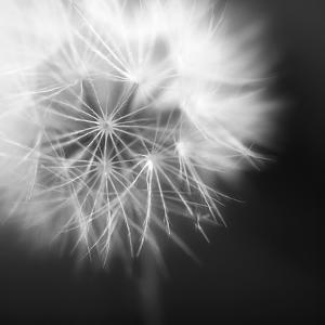Dandelion Haze B+W by Andreas Stridsberg
