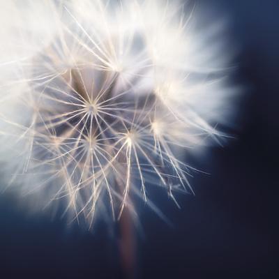 Dandelion Haze