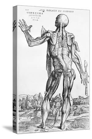 "Anatomical Study, Illustration from ""De Humani Corporis Fabrica"", 1543"