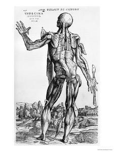 "Anatomical Study, Illustration from ""De Humani Corporis Fabrica"", 1543 by Andreas Vesalius"