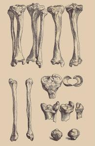 Leg Bones by Andreas Vesalius