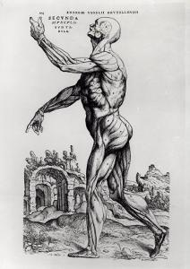 Musculature Structure of a Man by Andreas Vesalius