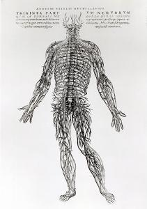 Nervous System by Andreas Vesalius