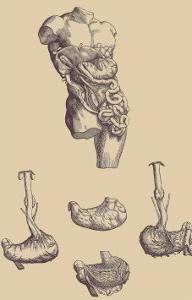 Stomach by Andreas Vesalius
