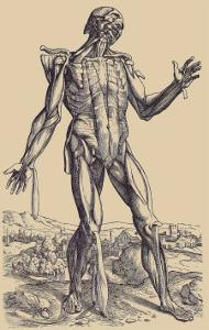 The Fifth Plate of the Muscles by Andreas Vesalius