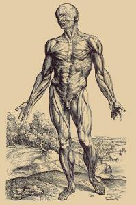 The First Plate of the Muscles by Andreas Vesalius