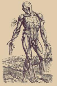 The Fourth Plate of the Muscles by Andreas Vesalius
