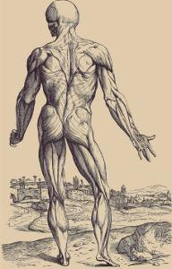 The Ninth Plate of the Muscles by Andreas Vesalius