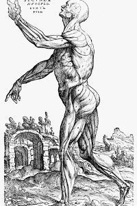 The Second Plate of the Muscles, from Book II of De Humani Corporis Fabrica, 1543 by Andreas Vesalius
